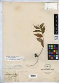 view Smilacina scilloidea var. acutifolia M. Martens & Galeotti digital asset number 1
