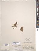 view Landoltia punctata (G. Mey.) Les & D. J. Crawford digital asset number 1