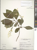 view Chionanthus virginicus L. digital asset number 1