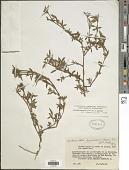 view Stylosanthes guianensis (Aubl.) Sw. var. guianensis digital asset number 1