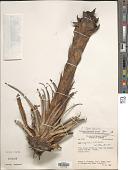 view Puya pygmaea L.B. Sm. digital asset number 1