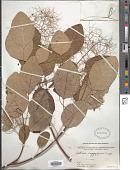 view Cotinus coggygria Scop. digital asset number 1