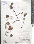 view Cissus vitiginea L. digital asset number 1