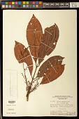 view Tapirira guianensis Aubl. digital asset number 1