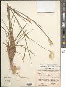 view Andropogon selloanus (Hack.) Hack. digital asset number 1