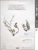 view Marathrum foeniculaceum Humb. & Bonpl. digital asset number 1