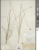 view Carex macloviana d'Urv. digital asset number 1