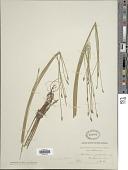 view Eleocharis palustris (L.) Roem. & Schult. digital asset number 1