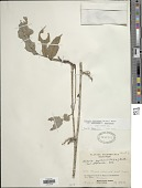 view Clitoria javitensis f. javitensis digital asset number 1