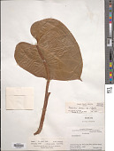 view Philodendron pterotum K. Koch & Augustin digital asset number 1