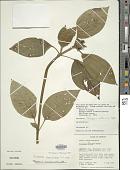 view Tristemma mauritianum J.F. Gmel. digital asset number 1