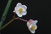 view Begonia x sp. digital asset number 1