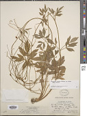 view Ranunculus hispidus var. nitidus (Chapm.) T. Duncan digital asset number 1
