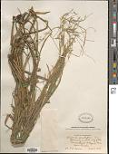 view Glyceria acutiflora Torr. digital asset number 1