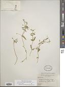 view Stellaria borealis subsp. borealis digital asset number 1