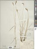 view Carex pratensis Hose digital asset number 1