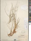 view Sporobolus tenuissimus (Mart. ex Schrank) Kuntze digital asset number 1