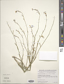 view Erucaria erucarioides (Coss. & Durieu) Müll. Berol. digital asset number 1