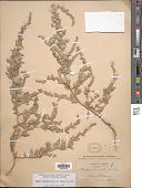 view Atriplex truncata (Torr. ex S. Watson) A. Gray digital asset number 1
