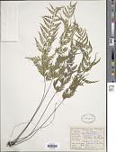 view Asplenium auritum Sw. digital asset number 1