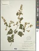view Koanophyllon solidaginoides (Kunth) R.M. King & H. Rob. digital asset number 1