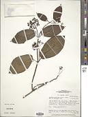 view Fischeria stellata (Vell.) E. Fourn. digital asset number 1
