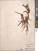 view Lasiopetalum ferrugineum digital asset number 1