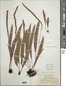 view Elaphoglossum petiolatum var. dussii (Underw. ex Maxon) Proctor digital asset number 1