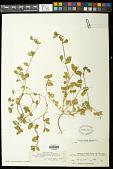 view Euphorbia carunculata Waterf. digital asset number 1