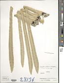 view Coespeletia moritziana (Sch. Bip. ex Wedd.) Cuatrec. x C. timotensis (Cuatrec.) Cuatrec. digital asset number 1