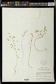 view Euphorbia fimbrilligera Mart. digital asset number 1