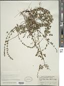 view Salvia occidentalis Sw. digital asset number 1