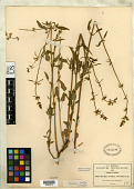 view Stachys aristata Greenm. digital asset number 1
