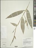 view Olyra longifolia Kunth digital asset number 1
