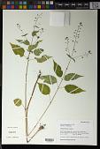 view Circaea canadensis (L.) Hill digital asset number 1