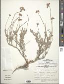 view Eriogonum fasciculatum var. polifolium (Benth.) Torr. & A. Gray digital asset number 1