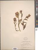 view Castilleja septentrionalis Lindl. digital asset number 1