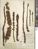 view Pterospora andromedea Nutt. digital asset number 1