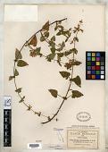view Stachys boraginoides var. glandulosa Greenm. digital asset number 1