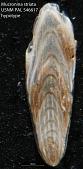 view Mucronina striata (D'Orbigny, 1826) digital asset number 1