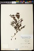 view Myrciaria tenella (DC.) O. Berg digital asset number 1