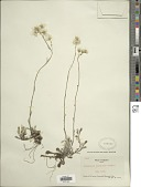 view Antennaria neodioica Greene digital asset number 1