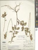 view Cuphea hookeriana Walp. digital asset number 1