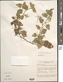 view Passiflora foetida L. digital asset number 1