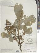 view Clitoria arborea Benth. digital asset number 1