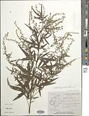 view Artemisia dubia Wall. ex Besser digital asset number 1