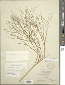 view Gutierrezia texana (DC.) Torr. & A. Gray digital asset number 1