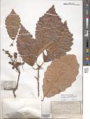 view Quercus montana Willd. digital asset number 1