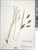 view Cyperus aterrimus Hochst. ex Steud. digital asset number 1