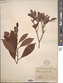 view Photinia luzonensis Merr. digital asset number 1